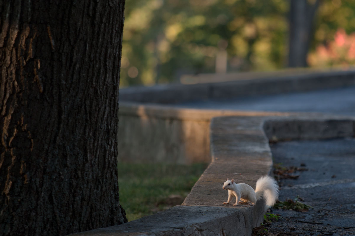 White Squirrel Sitting on Retaining Wall Between Parking Lot and Tree